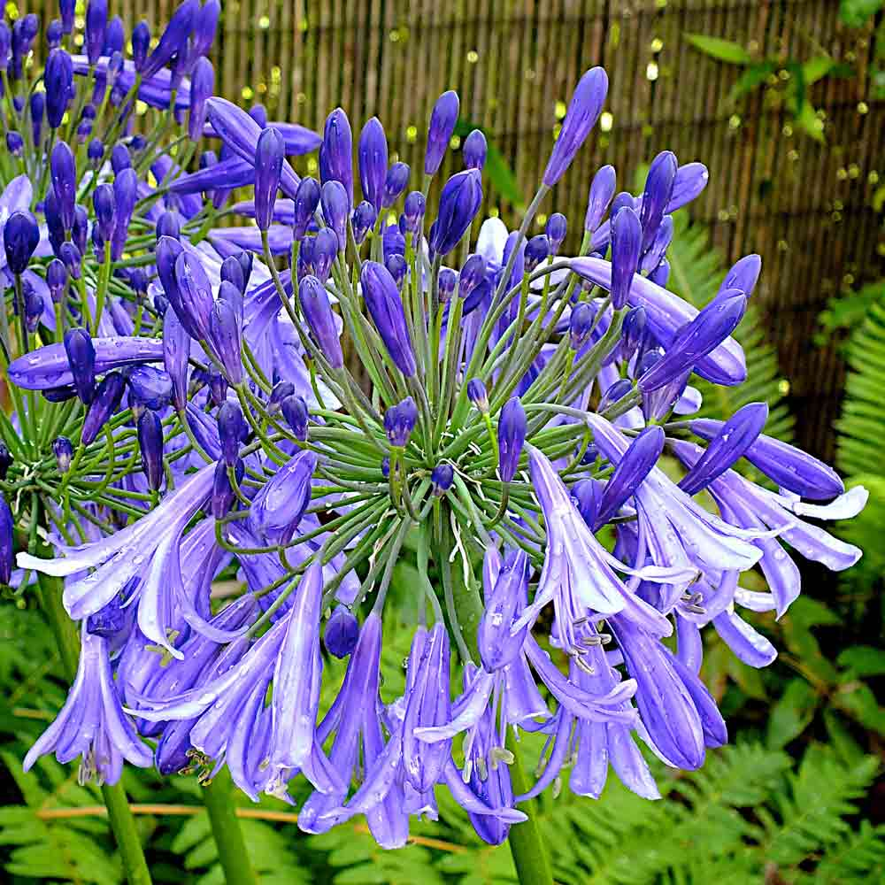 Agapanthus-Jacks-Blue1