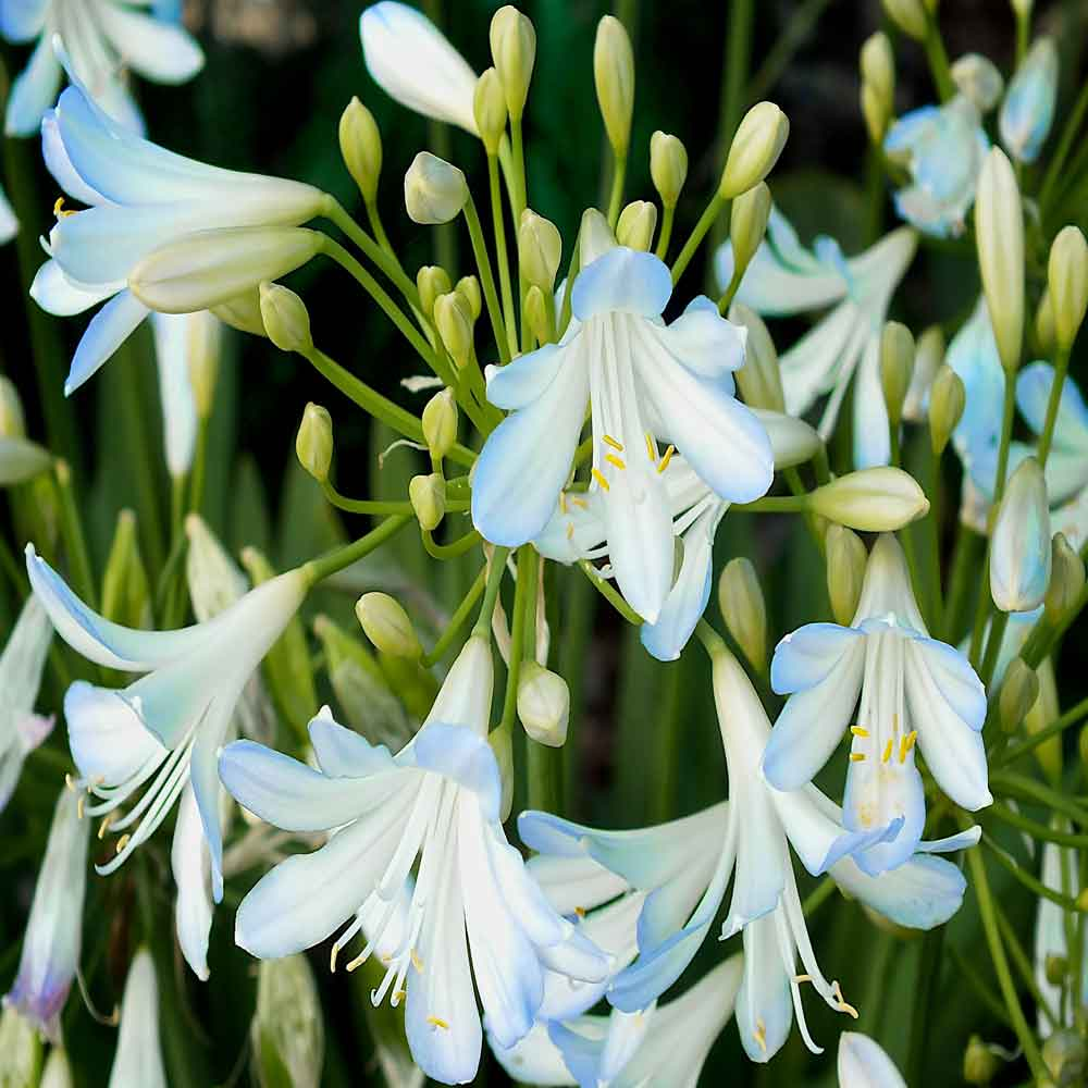 Agapanthus-Silver-Baby