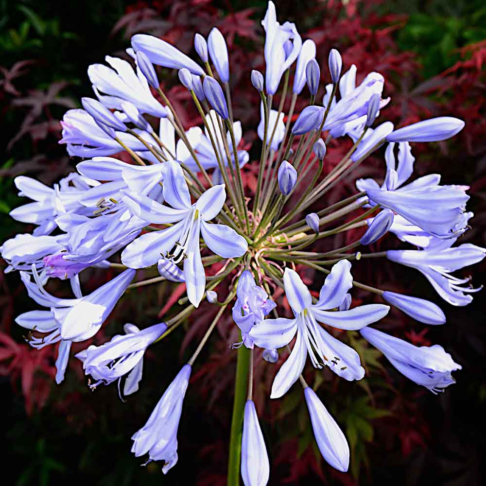 Agapanthus-Twilight-Zone