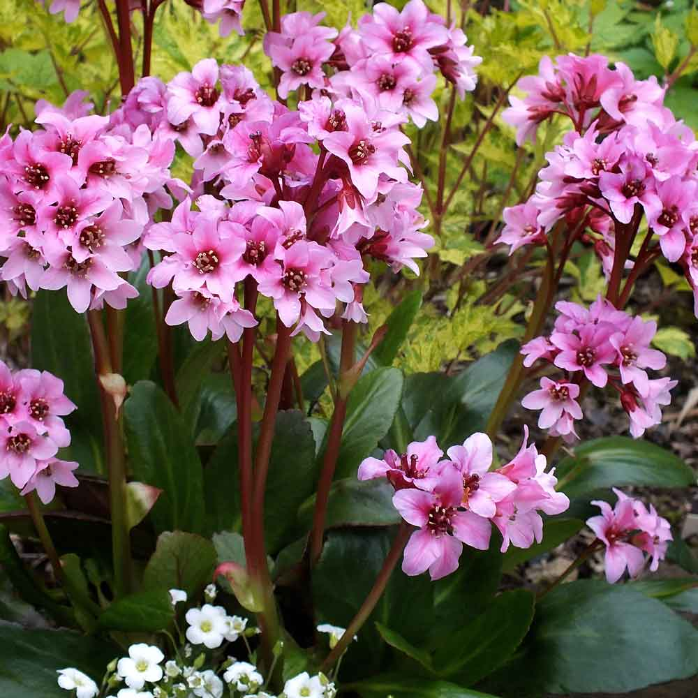 Bergenia-Dark-Damsell