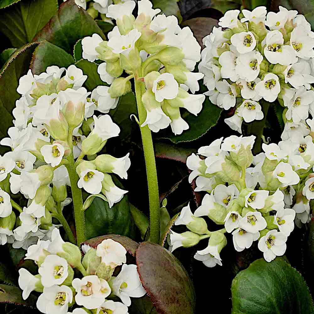Bergenia-Diamond-Drops
