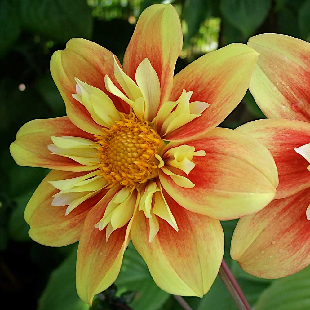 Dahlia-Eternal-Flame-