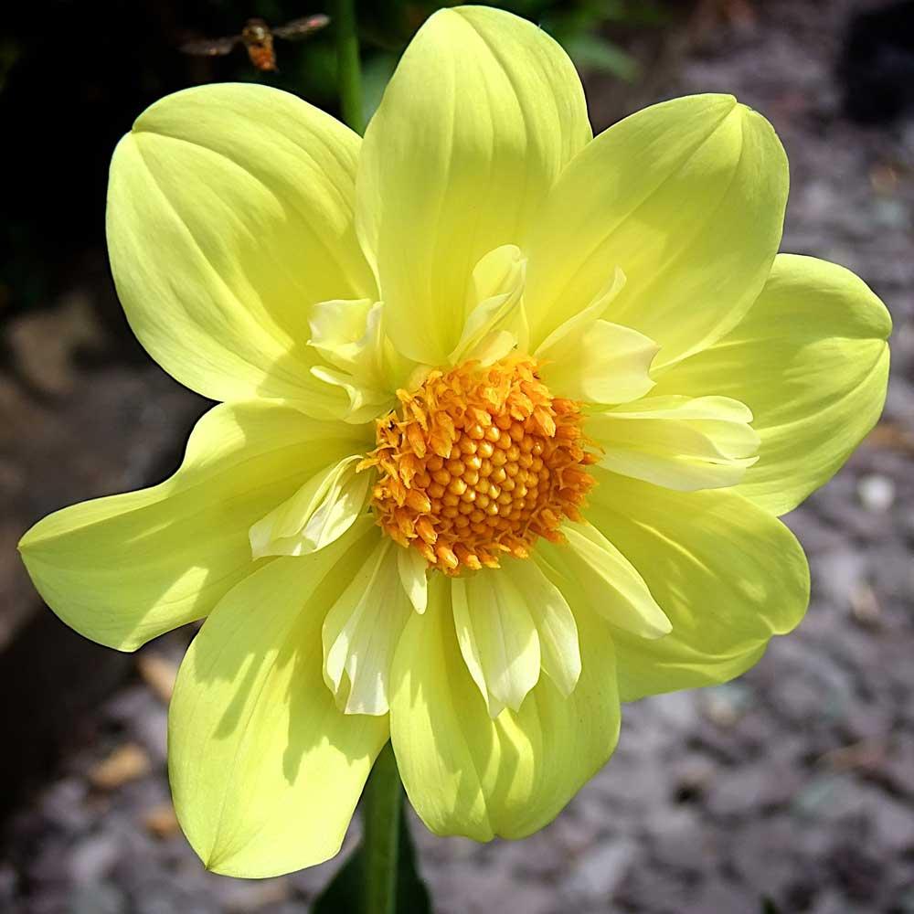 Dahlia-Lemon-Sherbet