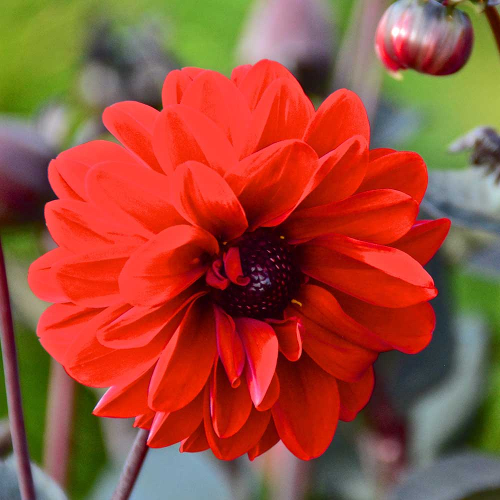 Dahlia Mountain of Fire