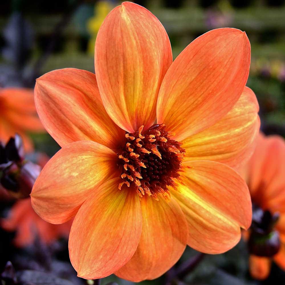 Dahlia-Tangerine-Gem