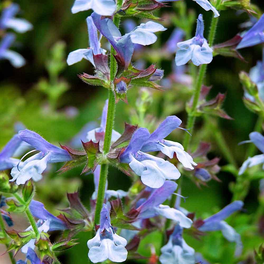 Salvia-African-Sky