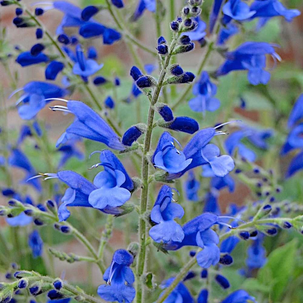 Salvia-Blue-Butterflies