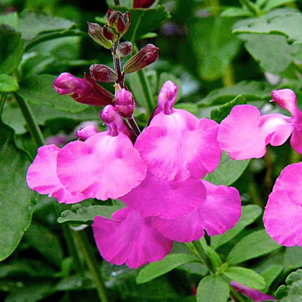 Salvia-Cool-Pink