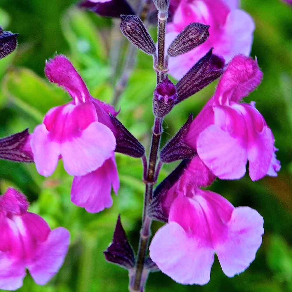 Salvia-Icing-Sugar