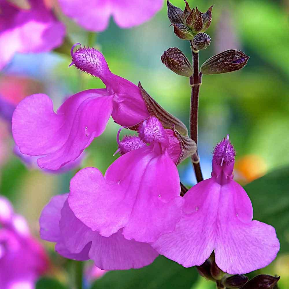 Salvia-Lalarsha