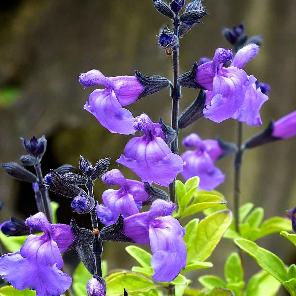 Salvia-Lavender-Dilly-Dilly