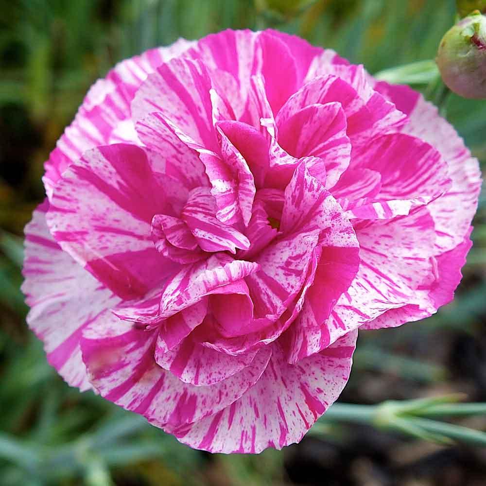 Dianthus-Cosmic-Pink