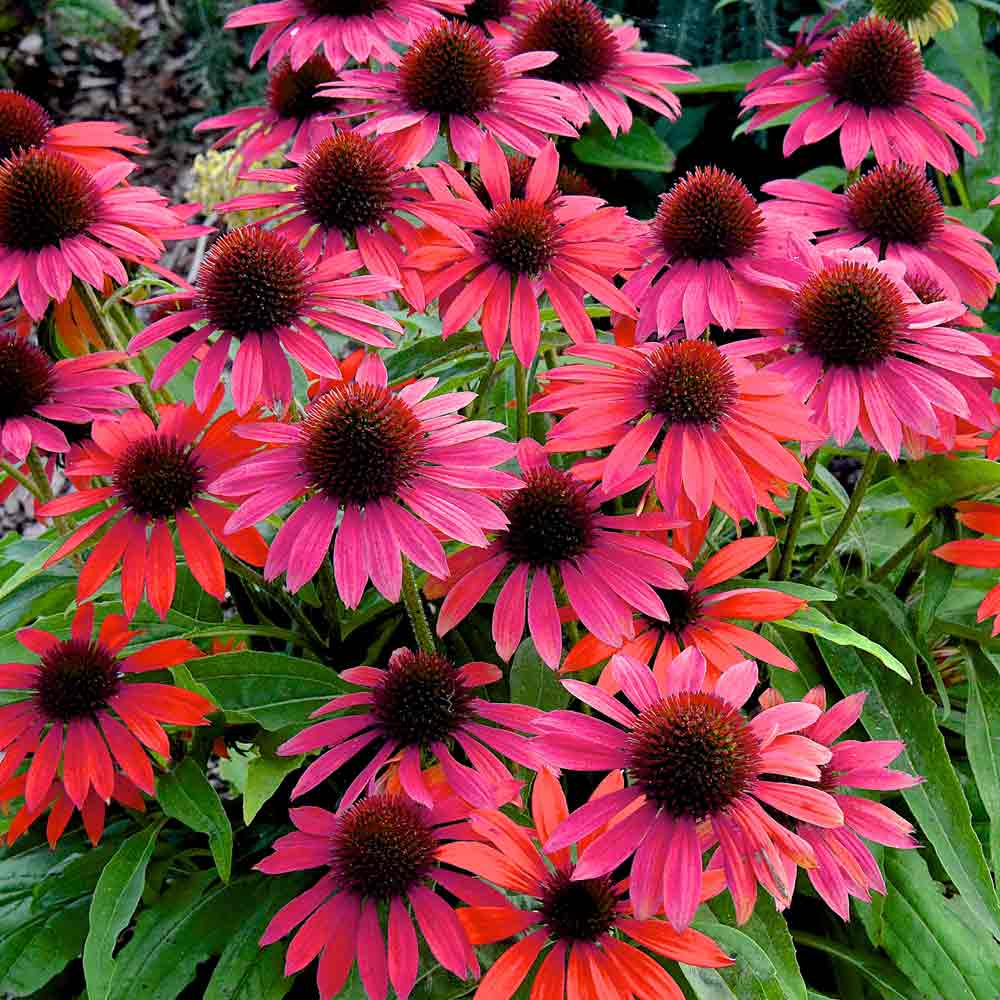 Echinacea-Red-Rocket-1