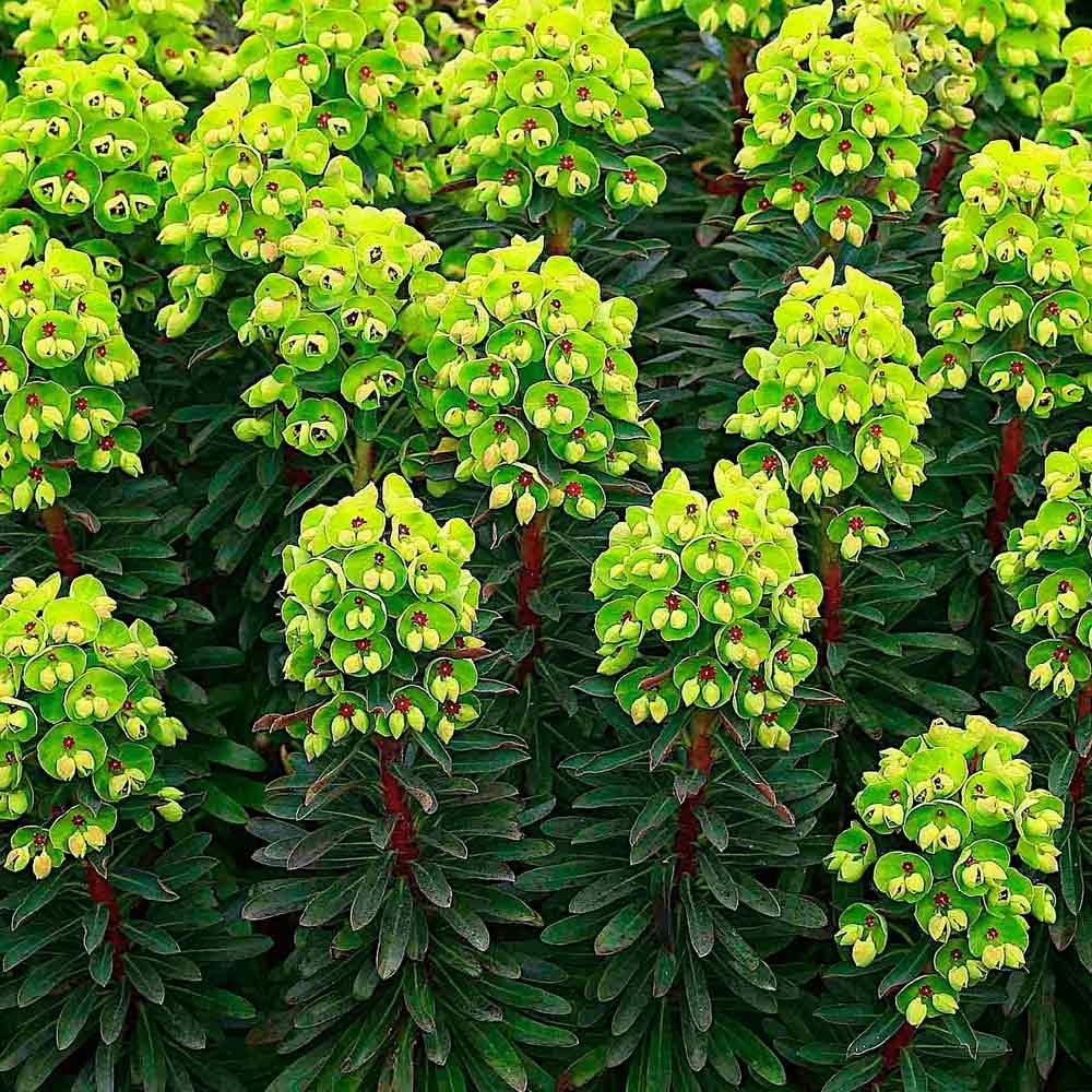 Euphorbia-Baby-Charm