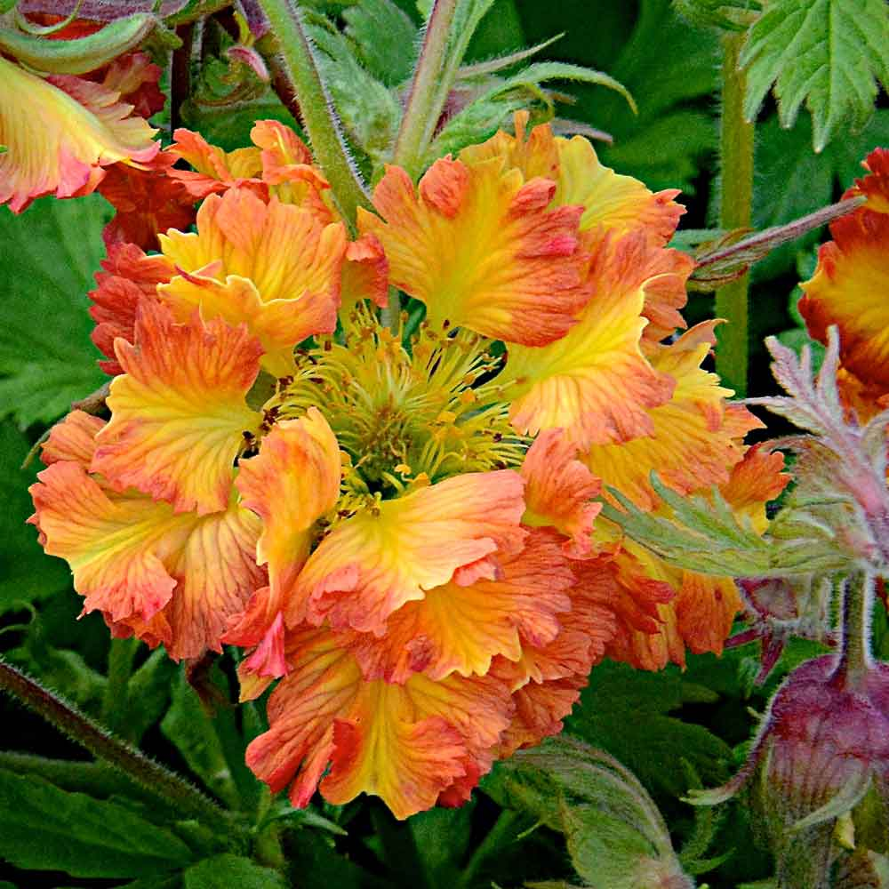 Geum-Can-Can