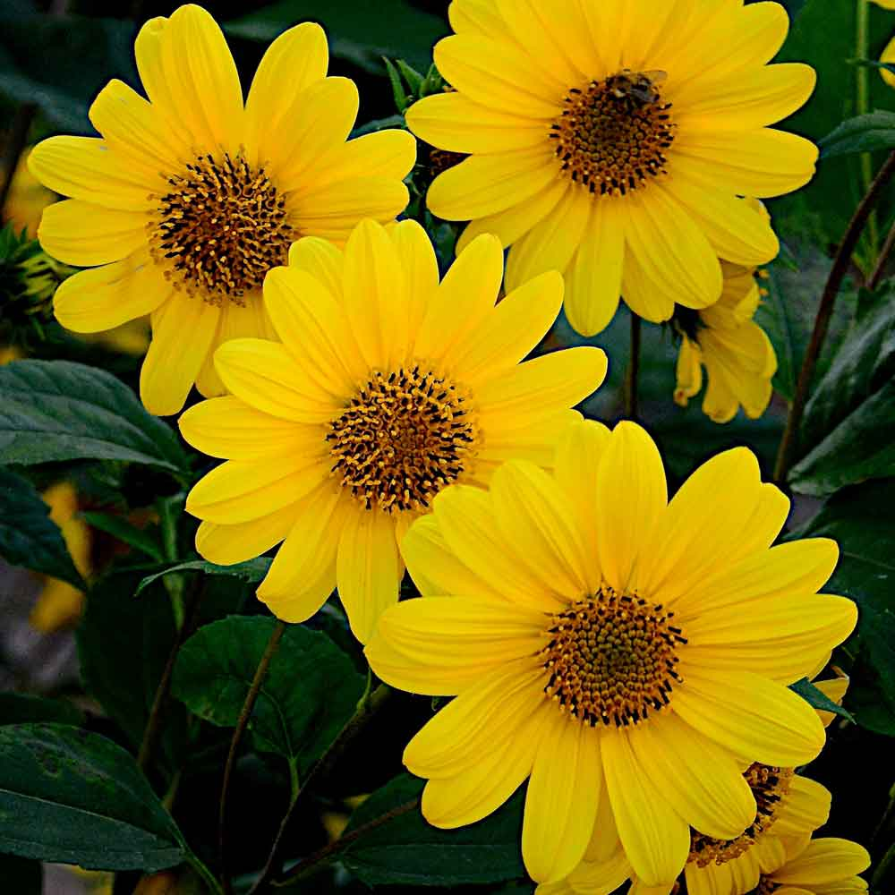 Helianthus-Flying-Saucers