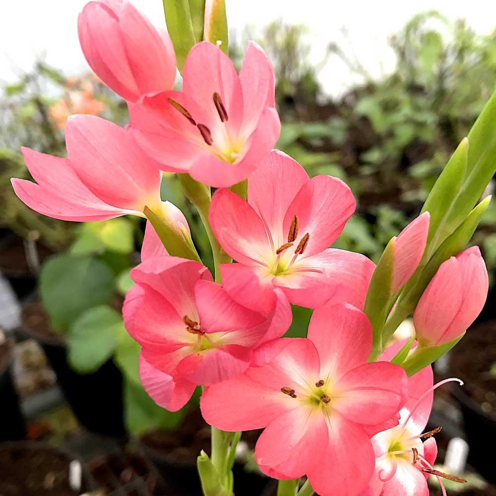 Hesperantha-Ruth