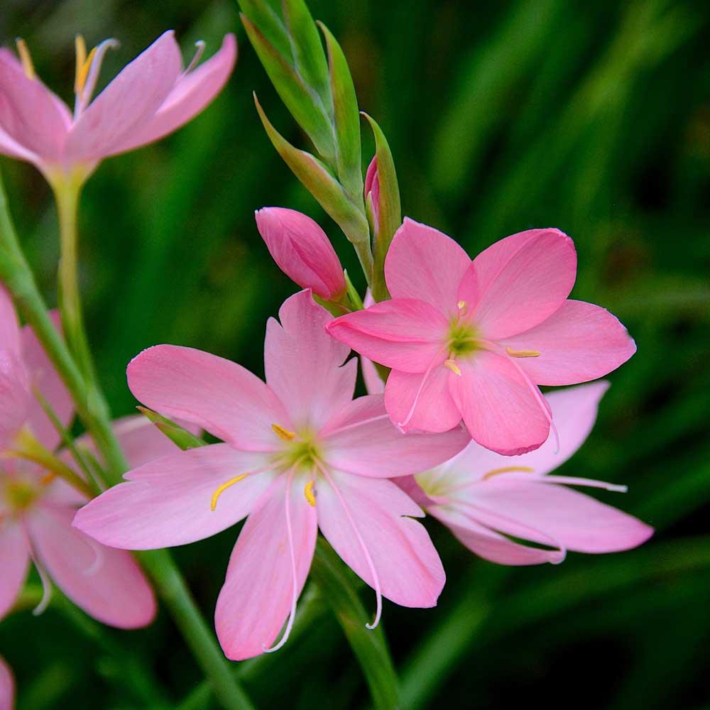 Hesperantha-Simply-Pink