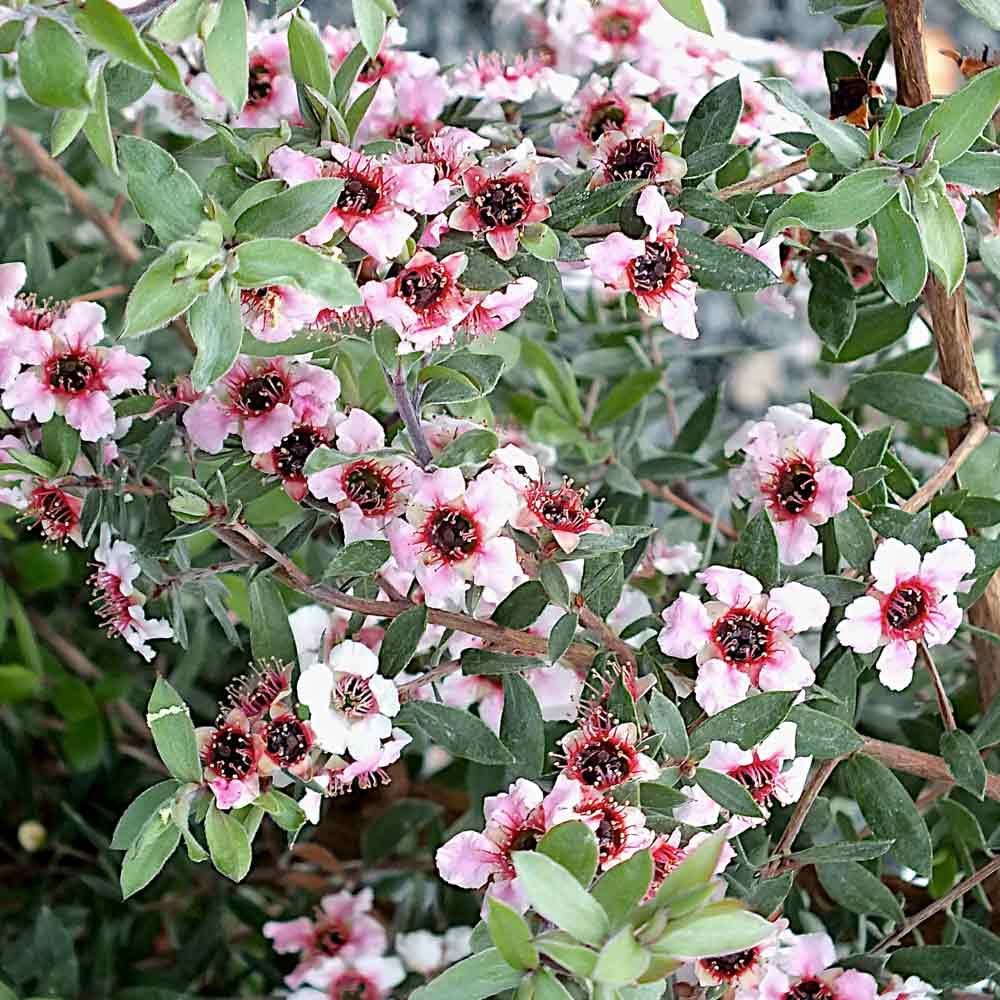 Leptospermum-Princess-Primanuka
