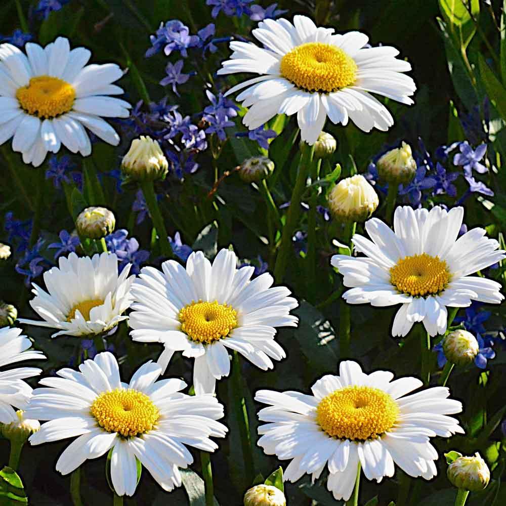 Leucanthemum-Daisy-Chains