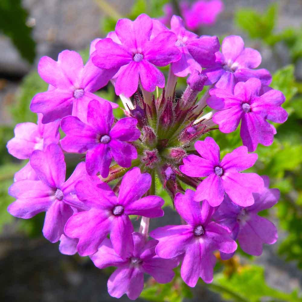Verbena-Homestead-Purple
