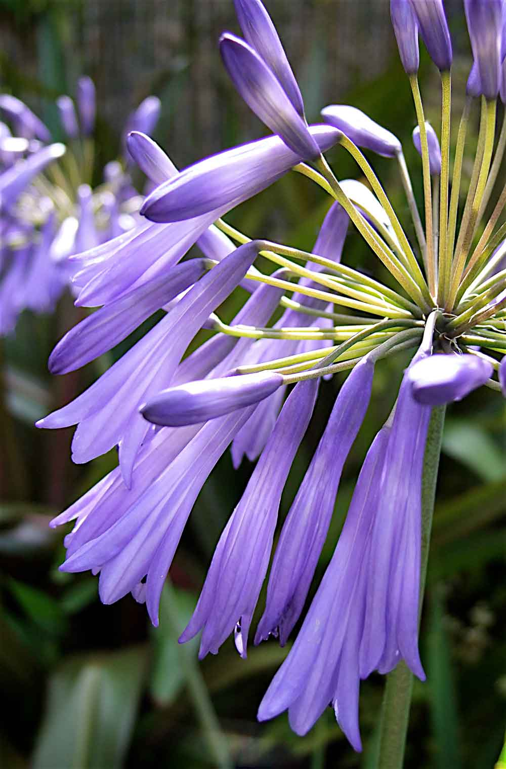 Agapanthus-Lilac-Lullaby