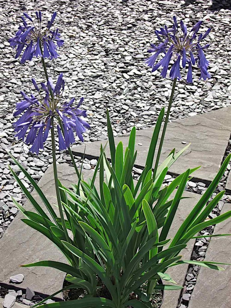 Agapanthus Lilac Lullaby