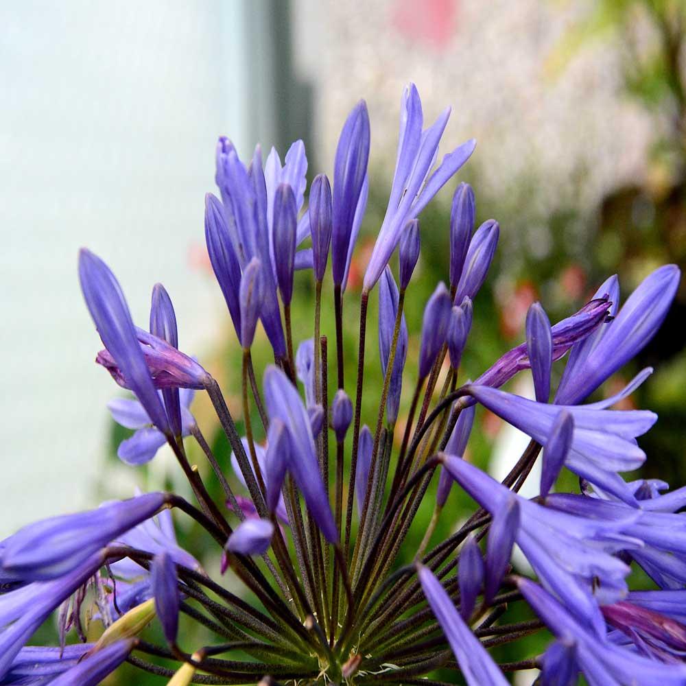 Agapanthus-Lilac-Wonder
