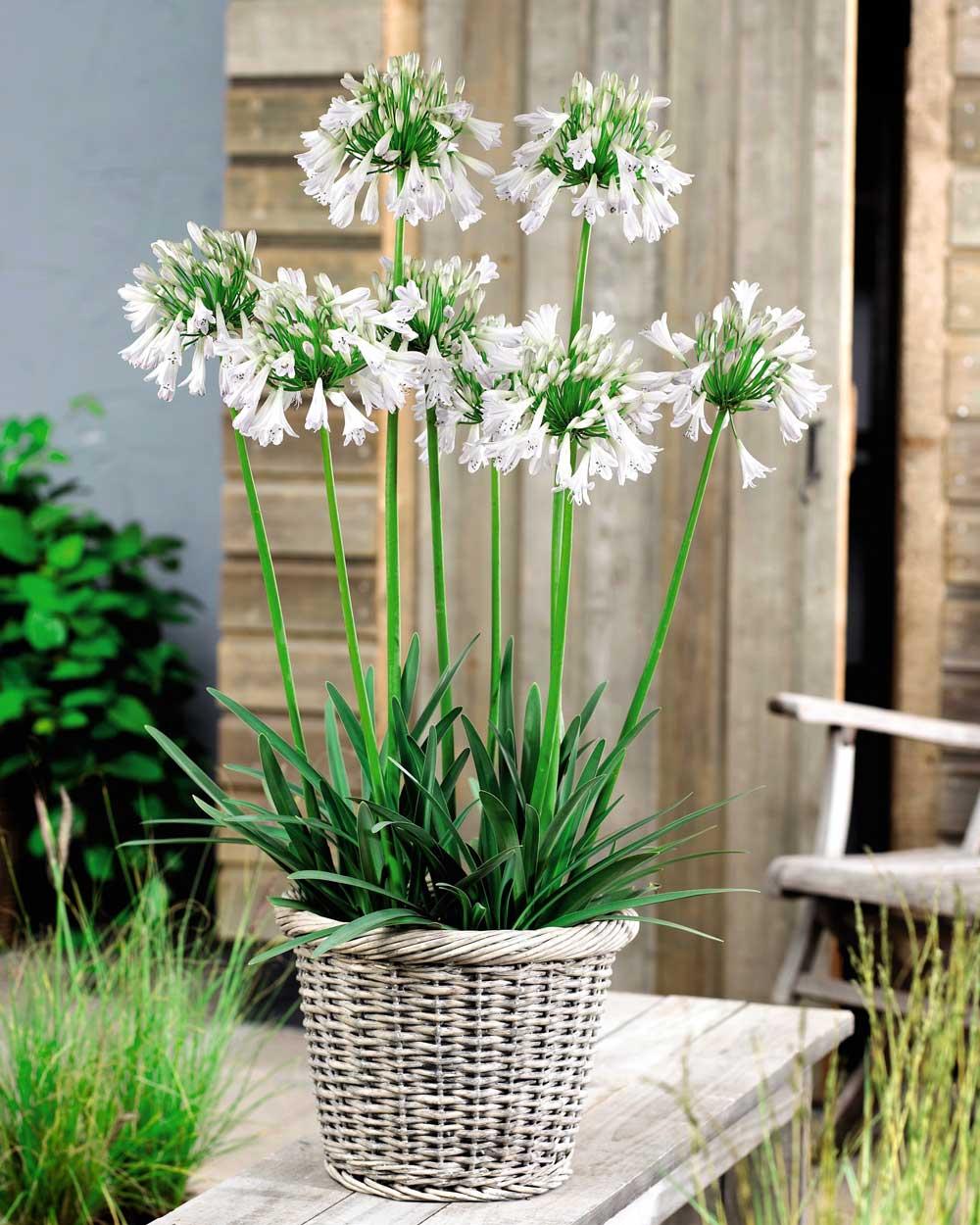 Agapanthus-Silver-Lining-in-basket