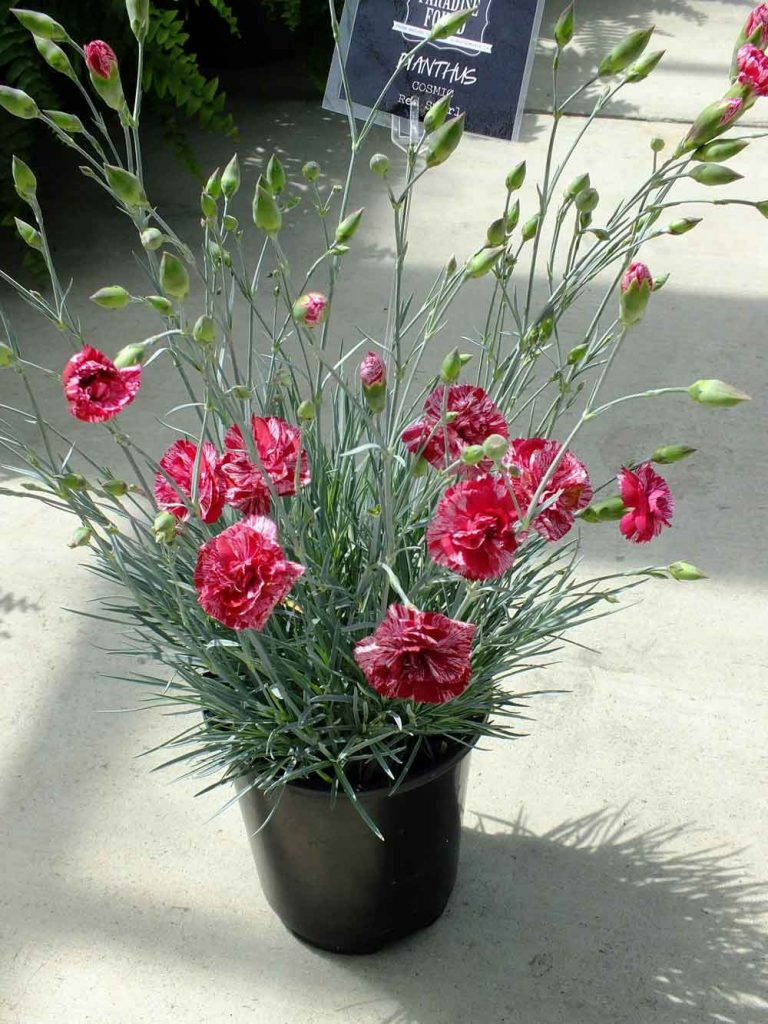 Dianthus Cosmic Red