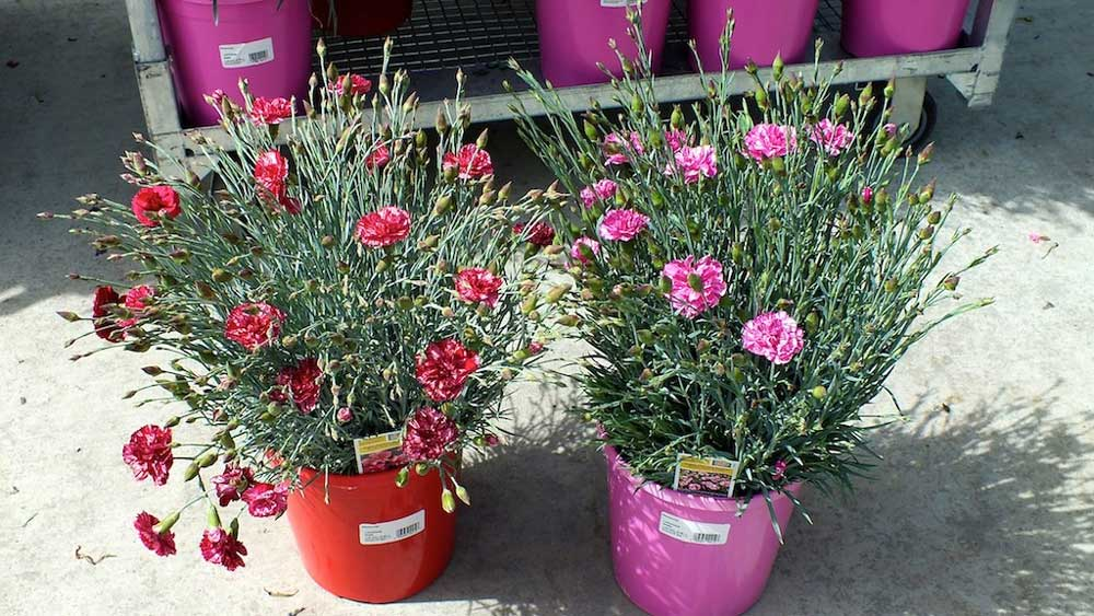 Dianthus Cosmic Red and Pink