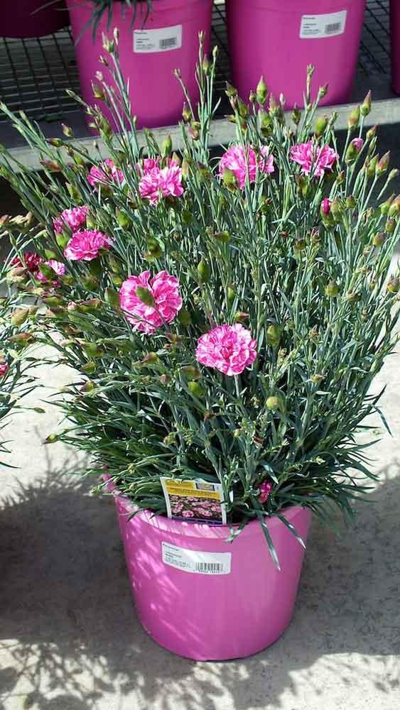 Dianthus Cosmic Pink