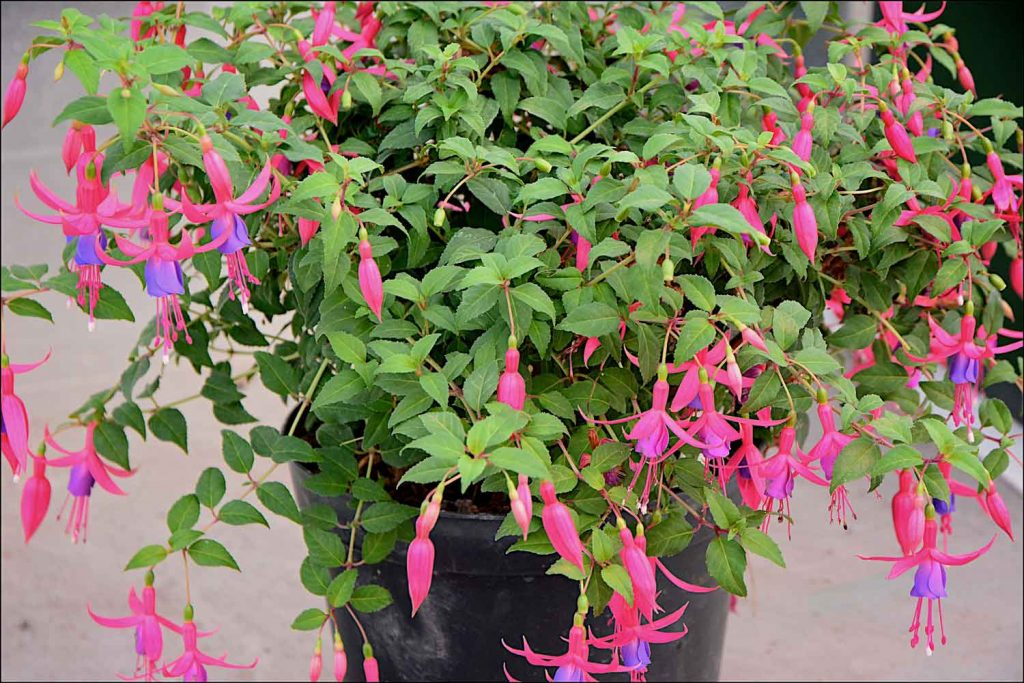 Fuchsia Magic Lanterns