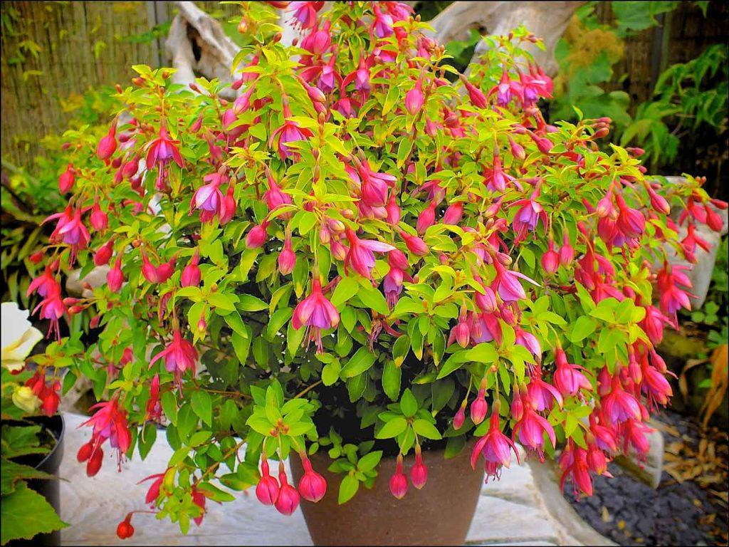 Fuchsia Thumbelina Gem