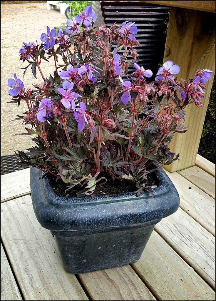 Geranium Black Beauty
