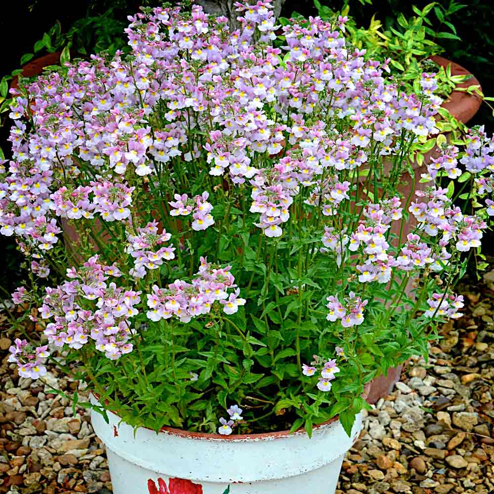 Nemesia Summer Kisses
