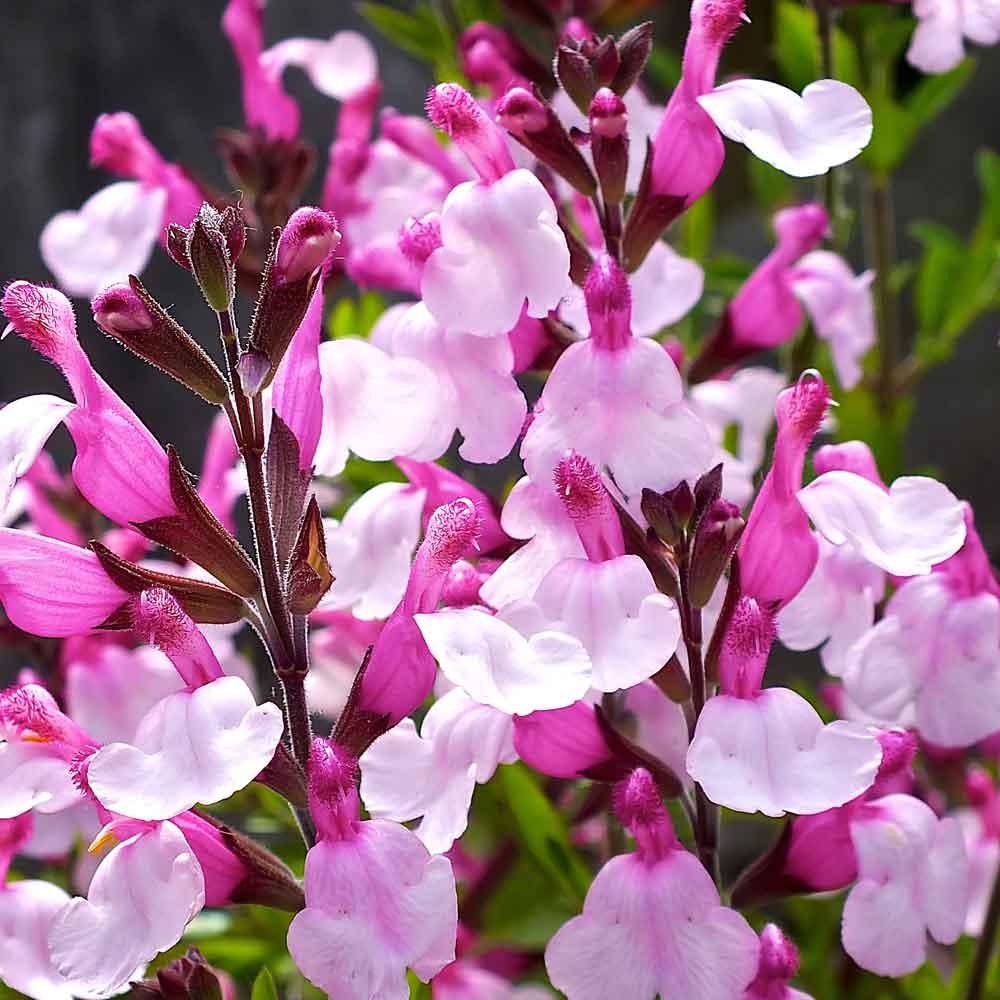 Salvia-Joy-group