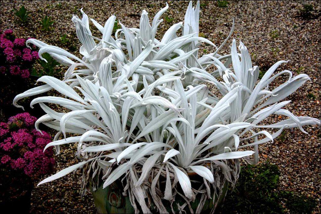 Senecio Silver Feathers