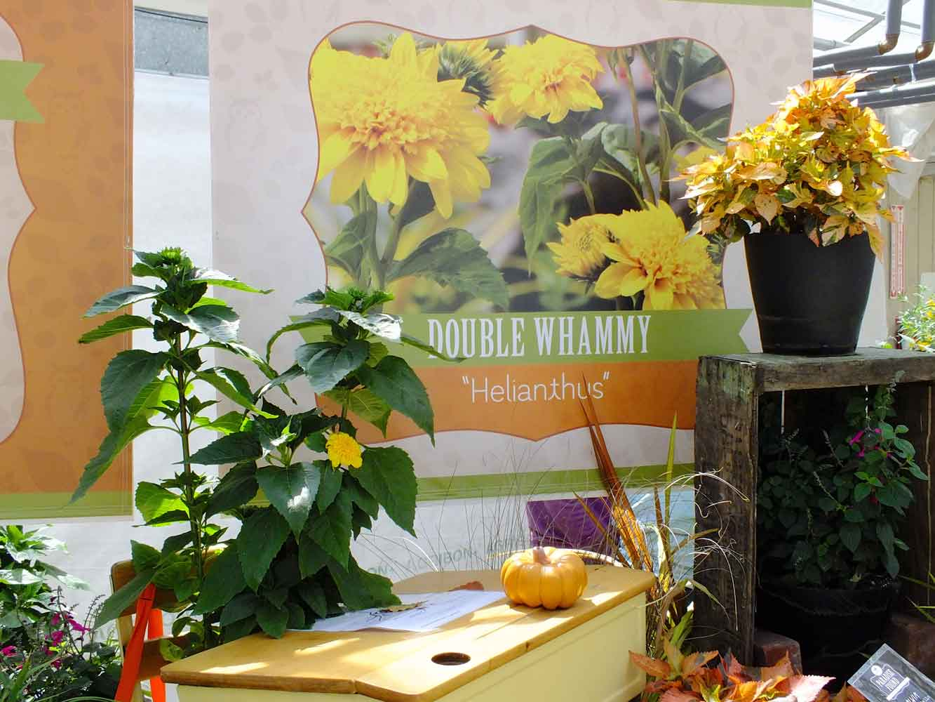 Helianthus-Double-Whammy-Pack-trials-2013