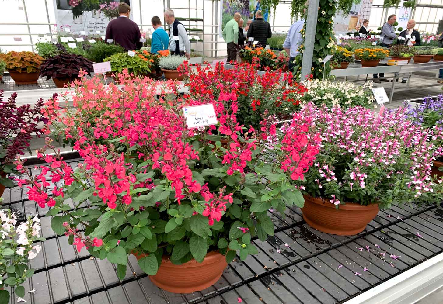 NWP-salvias-at-the-Euro-trials-on-the-Jaldety-stand-in-Holland-2019-