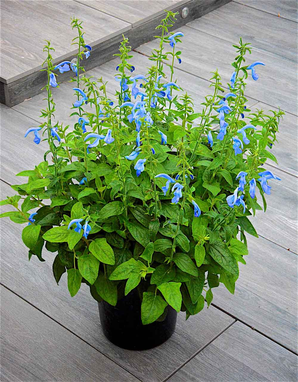 Salvia-Beyond-Blue-in-pot