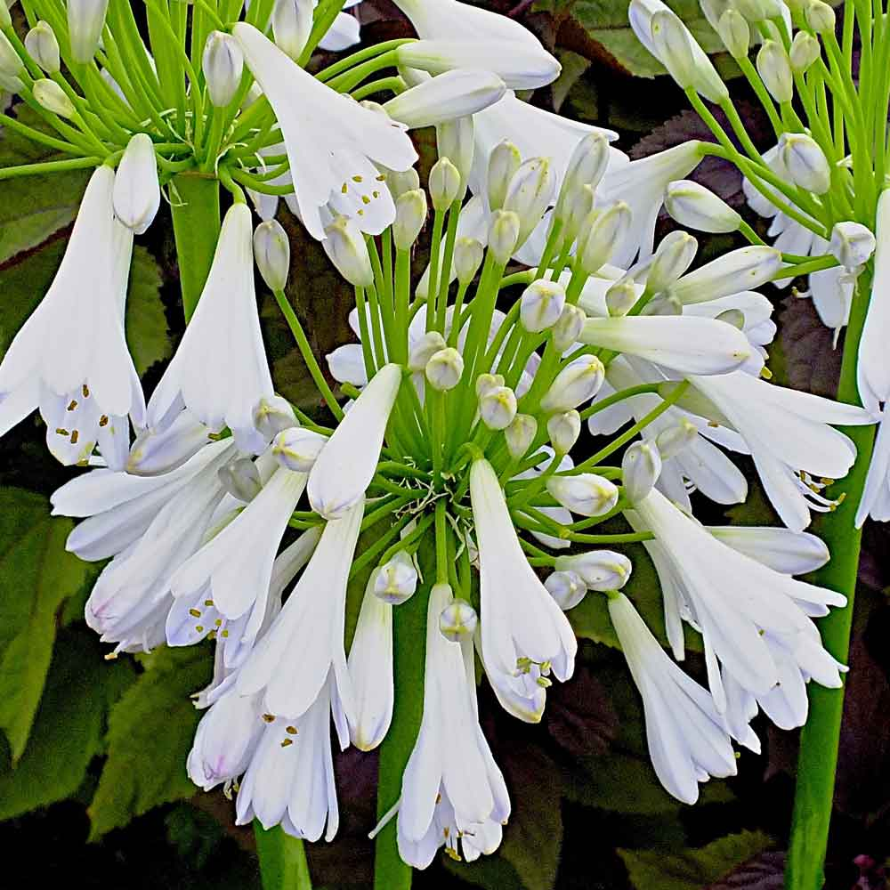 Agapanthus-Silver-Lining