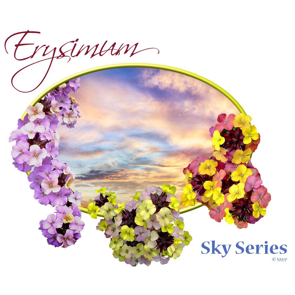 Erysimum-Sky-Series