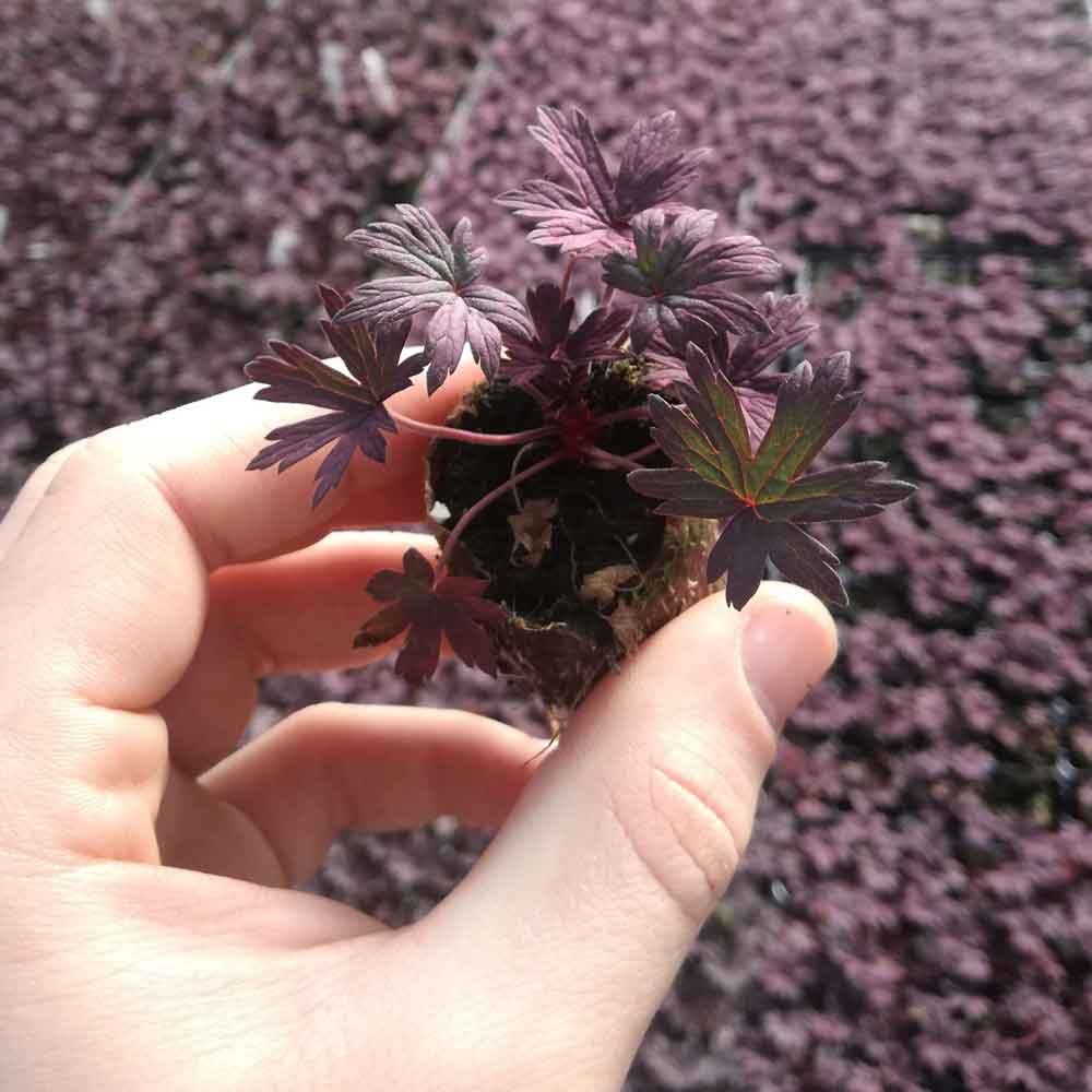 Geranium-Black-Beauty-Plug