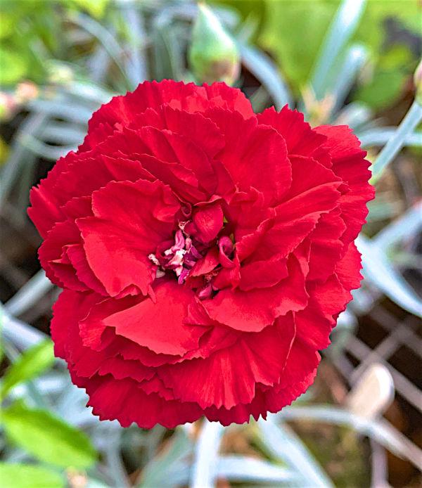 Dianthus Class Act flower close