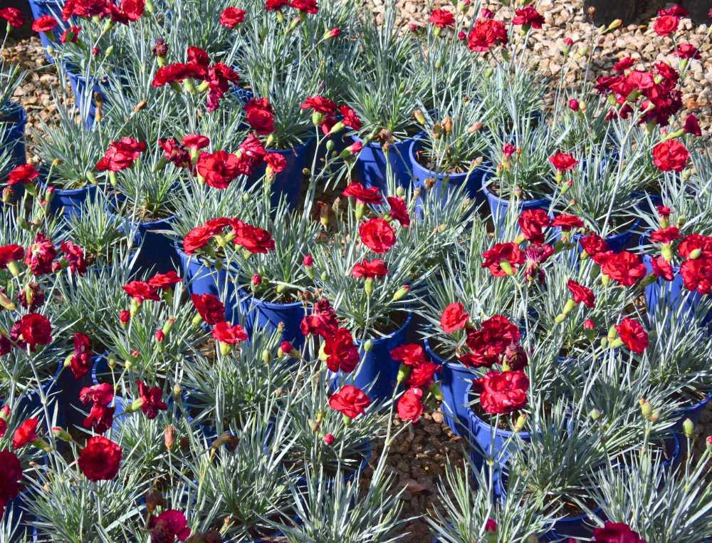 Dianthus Class Act pots 2